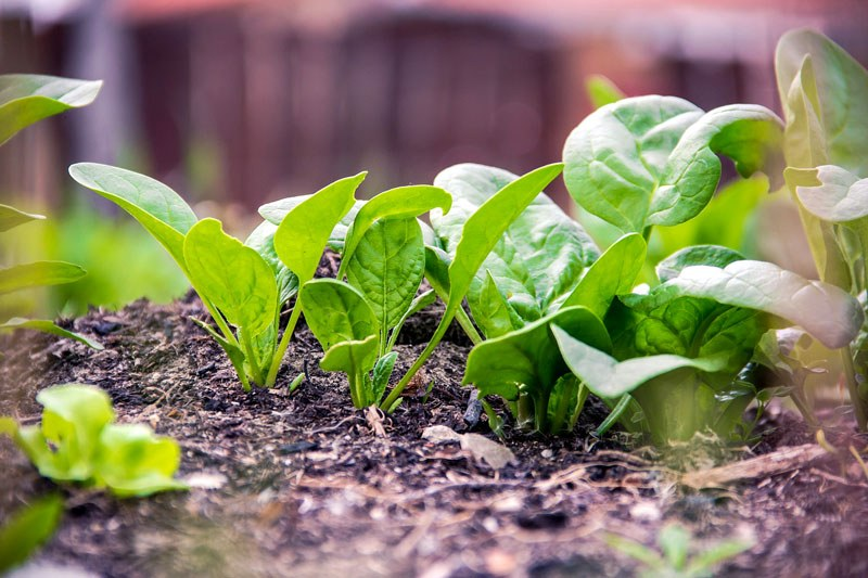 What are the health benefits of spinach?